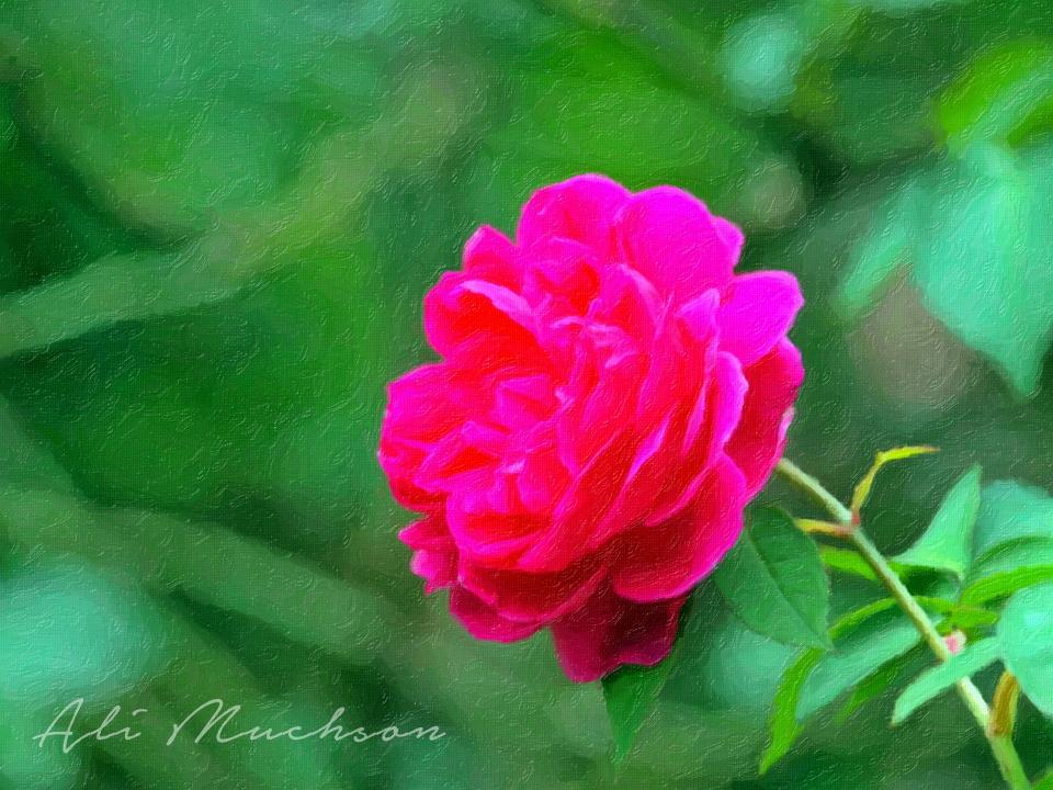 Photo Artwork - Bunga Mawar (Rosa)