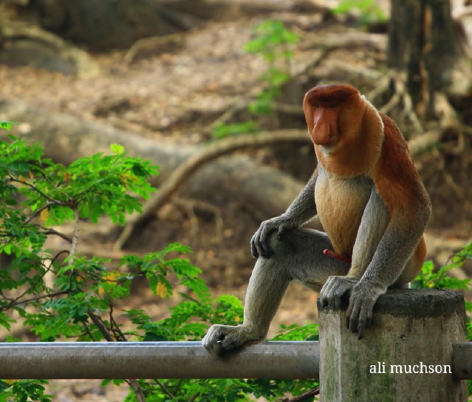 Bekantan (Proboscis monkey) - Hari Cinta Puspa dan Satwa Nasional 2020
